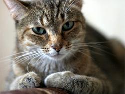 Стоматит у кошки при поликистозе